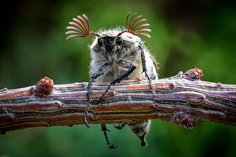 Maybug beetle