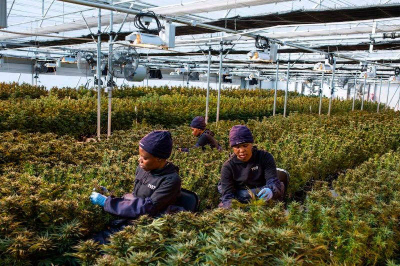 Workers pick up leaves from cannabis plants inside a greenhouse in Lesotho on Aug. 6, 2019.