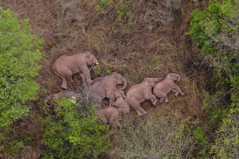 Wild Asian Elephants rest