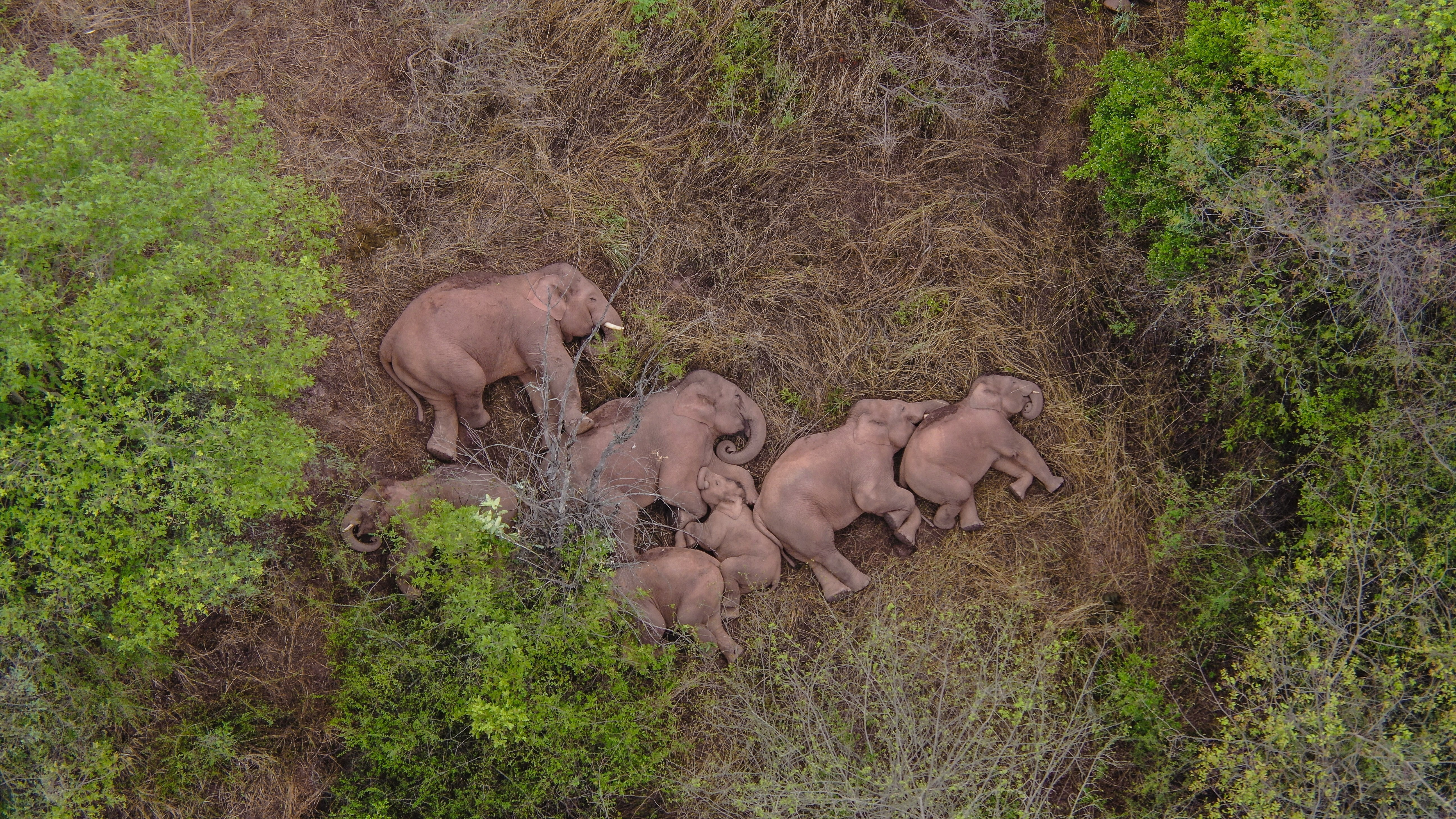 Wild Asian elephants make a temporary stop on the outskirts of Kunming, China on June 7.