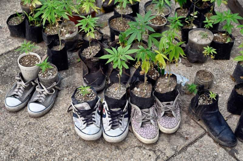 View of cannabis plants in flowerpots inside shoes outside the Senate building in Mexico City on Sept. 30, 2020.