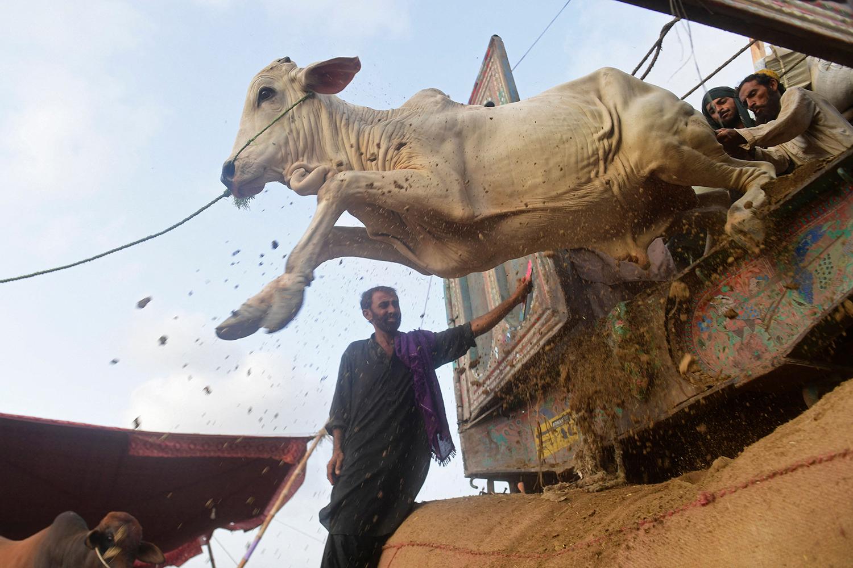 Cattle unloaded in Pakistan