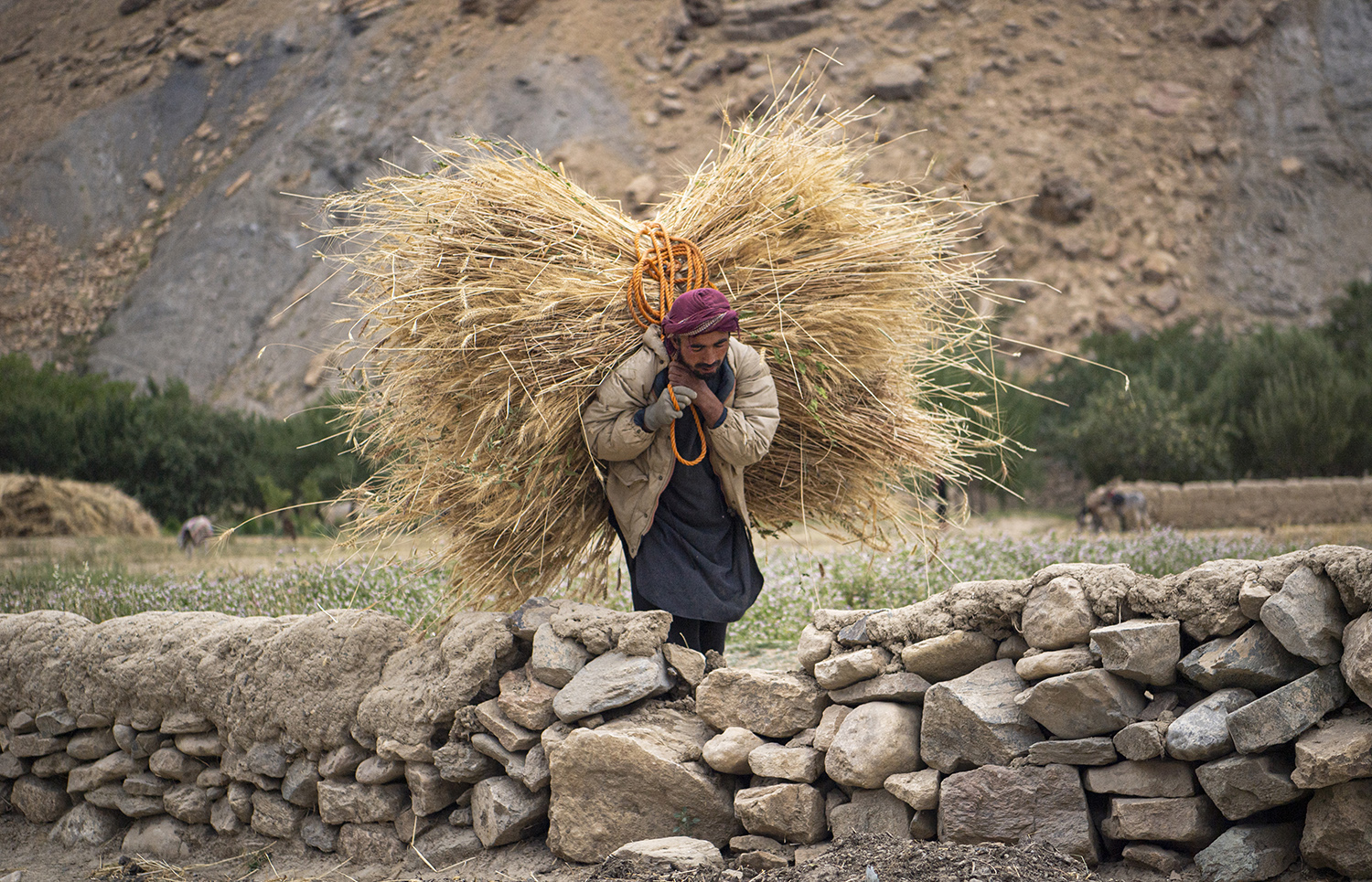A farmer caries wheat in Saighan district on July 21. Massoud Hossaini