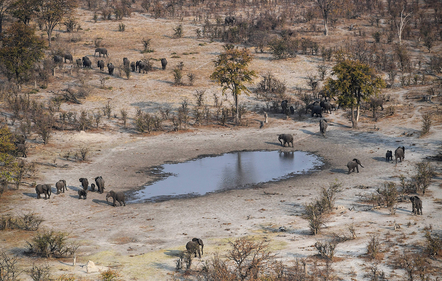 Elephants roam in the plains of the Chobe district, Botswana, on Sept. 19, 2018. Elephants Without Borders claims it discovered at least 87 elephant carcasses suggesting a spike in killings.