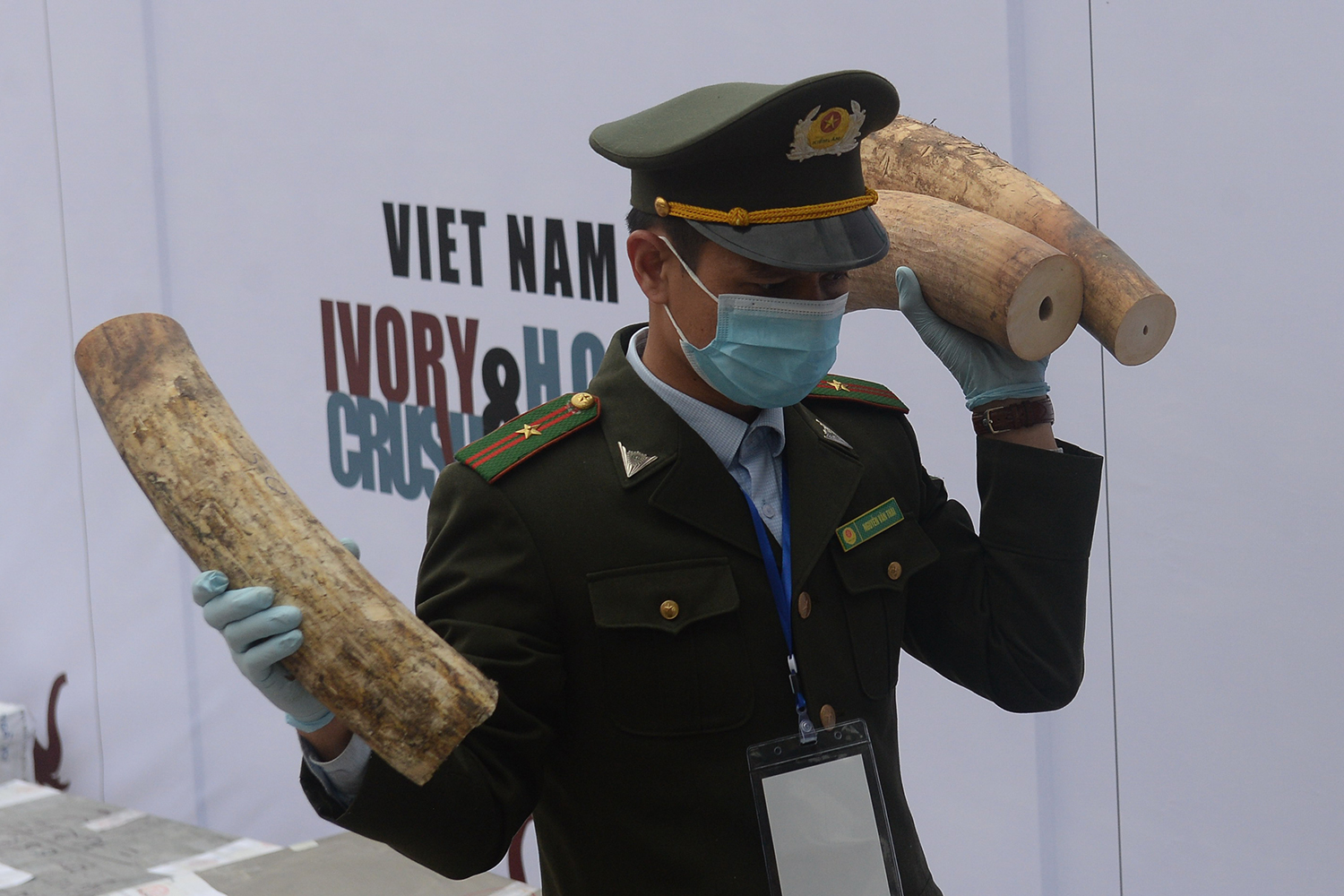 A forest ranger carries ivory during the country's first mass destruction of seized horns and tusks in the suburbs of Hanoi on Nov. 12, 2016.