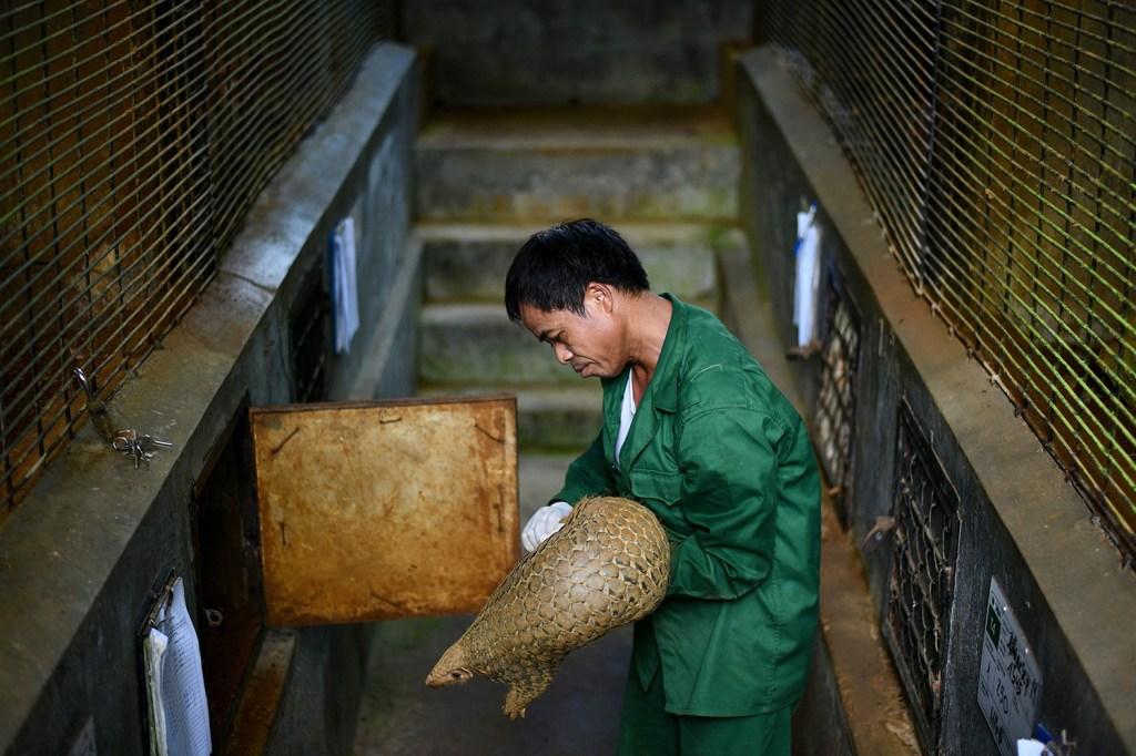 A wildlife keeper checks a pangolin enclosure.