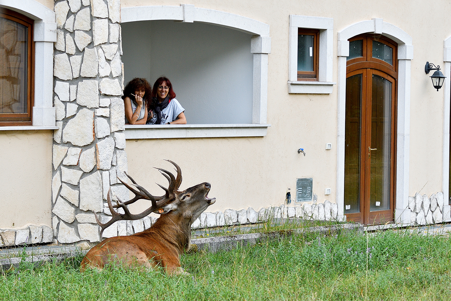 Wild stag rests in Italian lawn