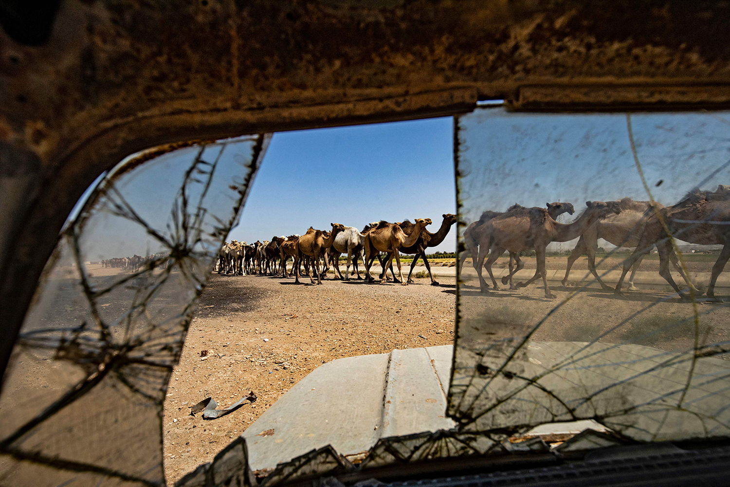 Camels walk by in Syria
