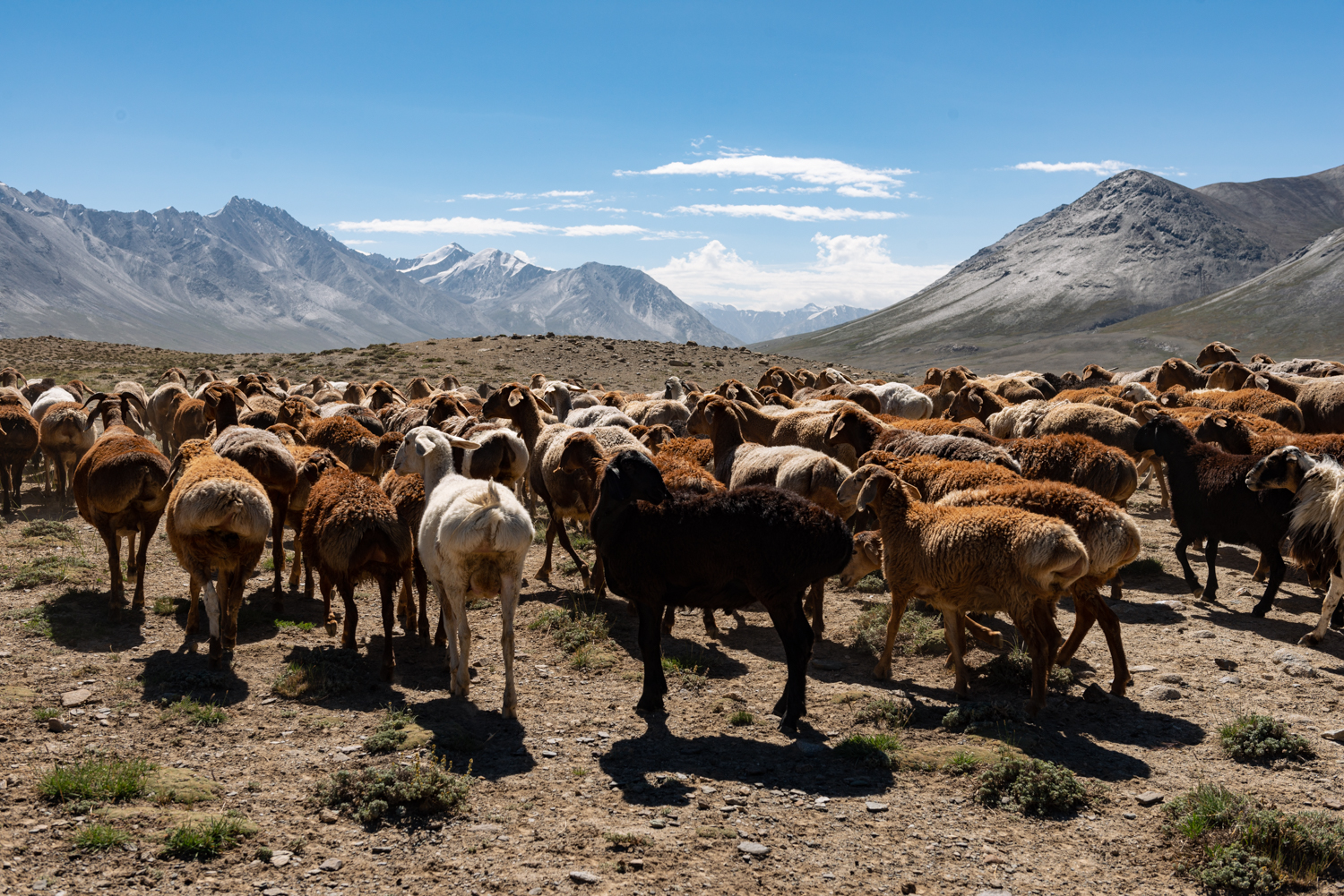 Fat-tailed sheep and goats