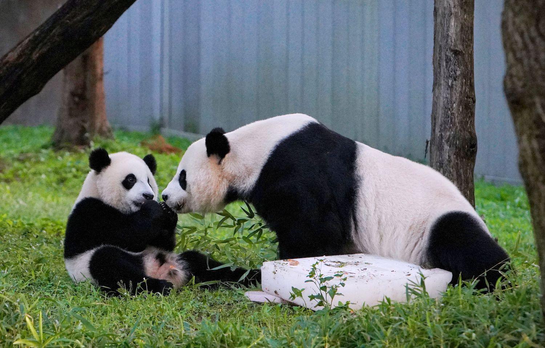 8月21日,在华盛顿国家动物园,熊猫宝宝小七吉和妈妈美香庆祝一岁生日。