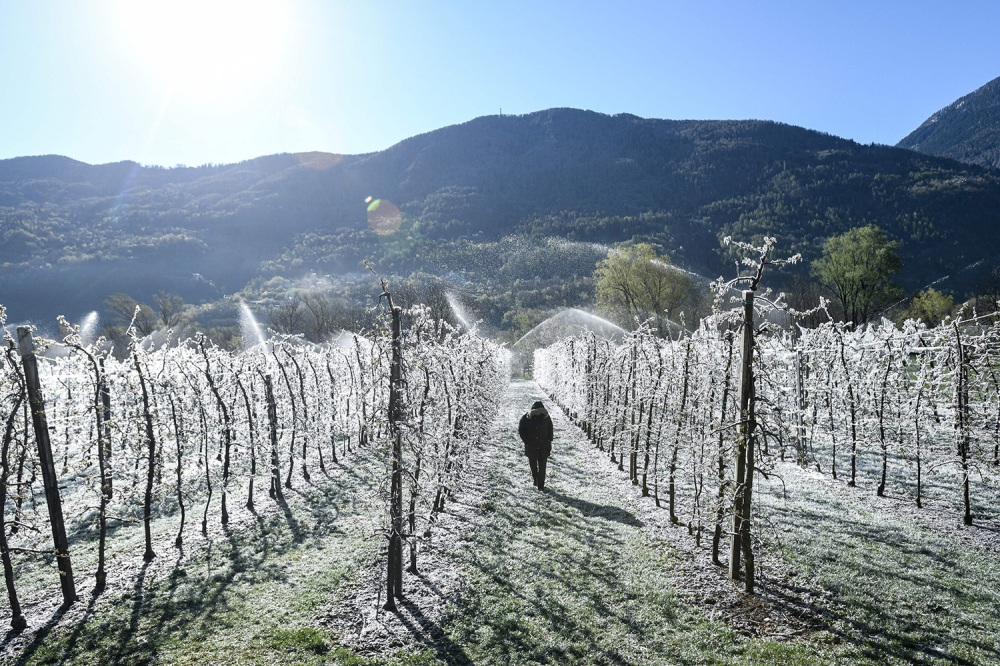 A grower walks past apple trees covered in ice in La Palazzetta, a village near Milan on April 8.